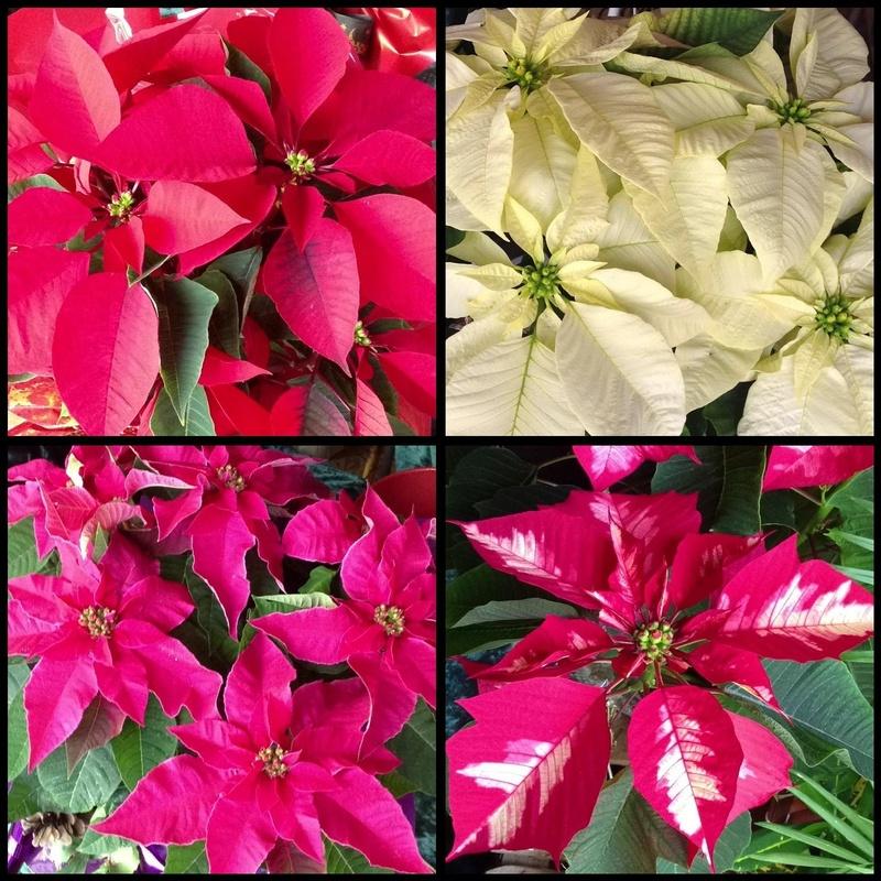 Flores de Pascua en varios colores