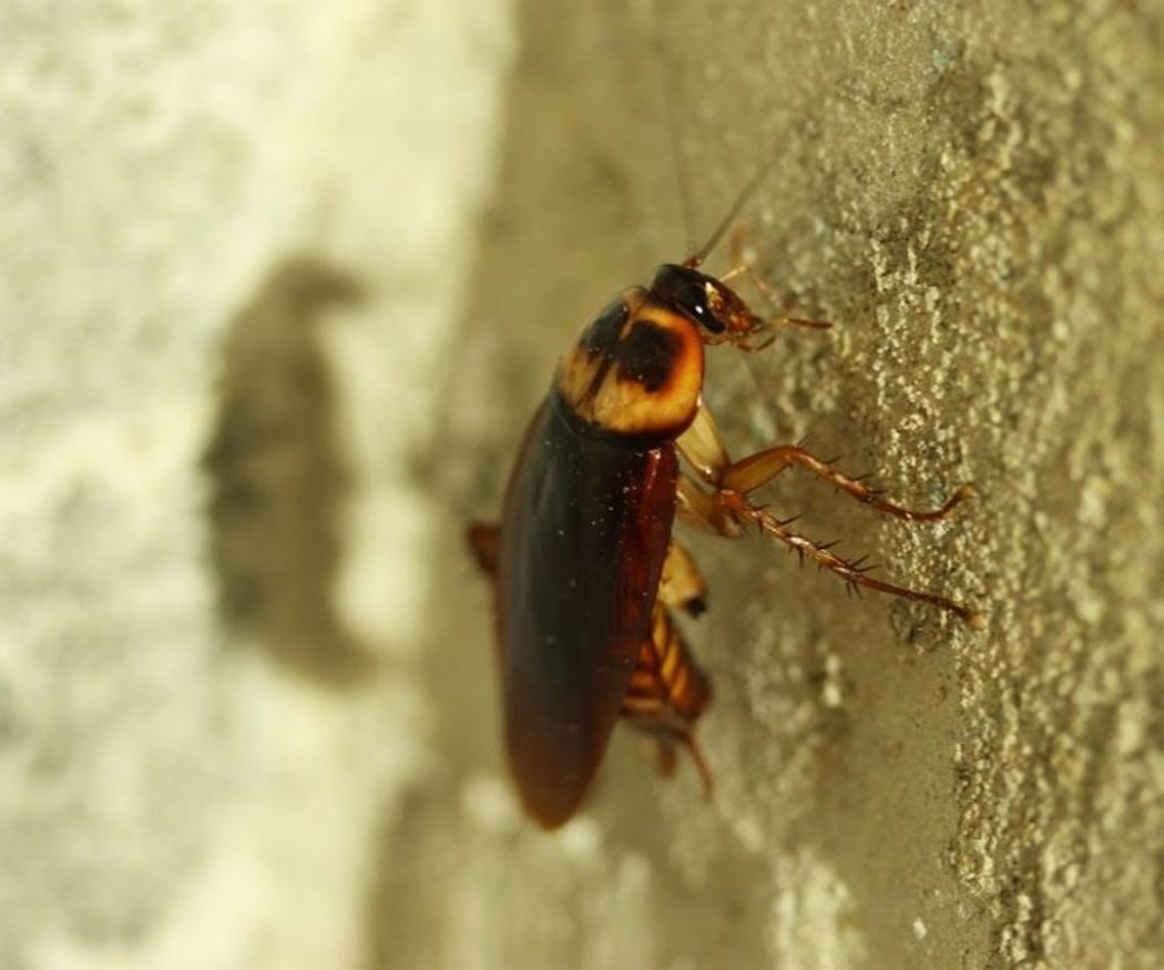 Cómo evitar las plagas de cucarachas
