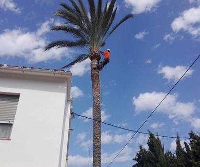 Tala controlada de 3 phoenix dactyliferas, en la ciudad de Denia