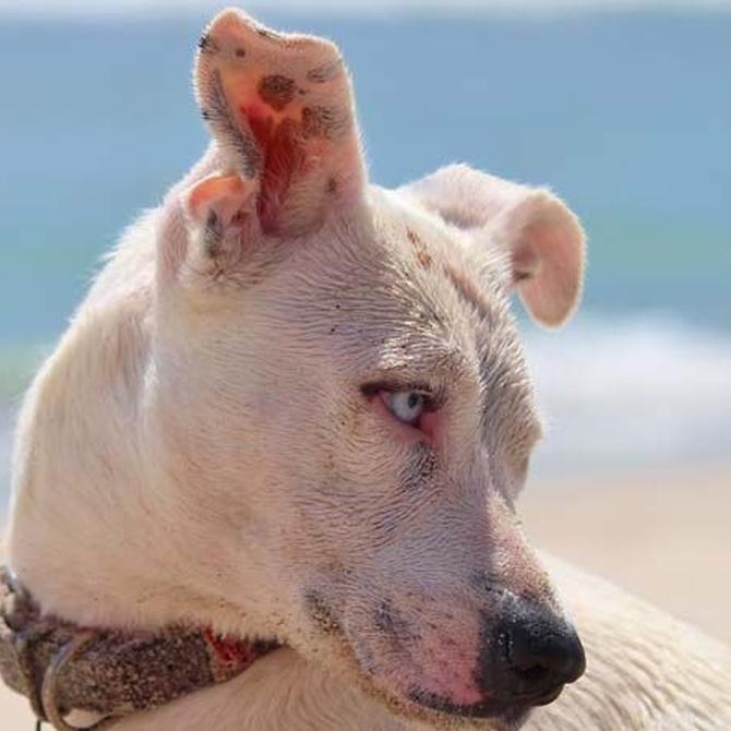 La otitis en los perros