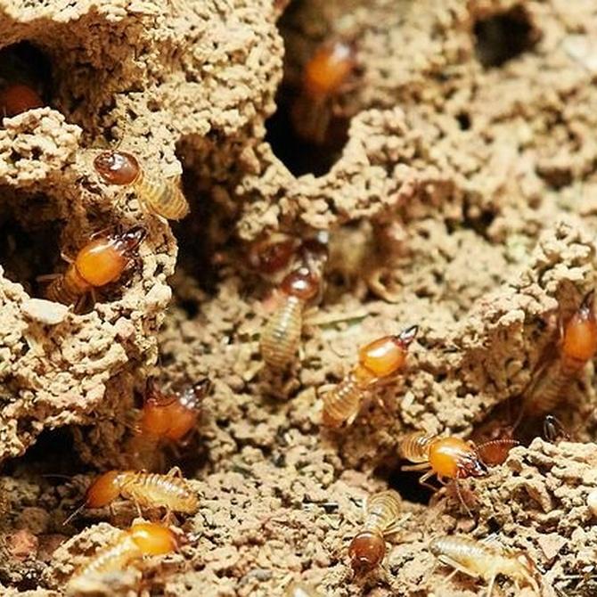 ¿Por qué las que las termitas se alimentan de madera?