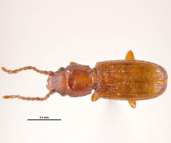 Cryptolestes ferrugineus