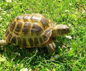 Tortuga Rusa o Agrionemys horsfieldii