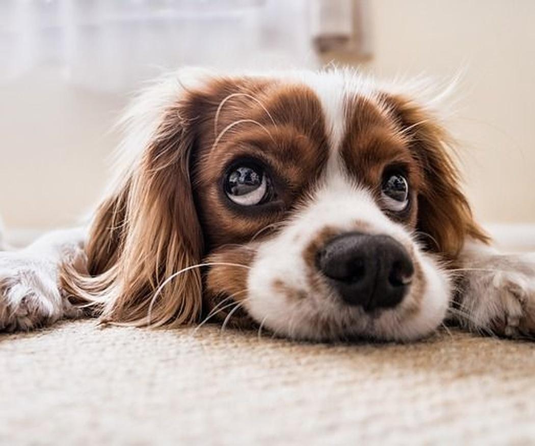 Cómo limpiar una casa con mascotas