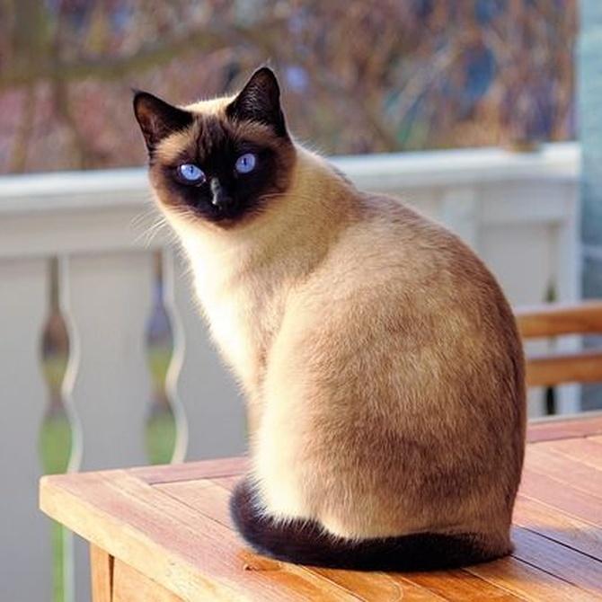 El cáncer de mama en gatos