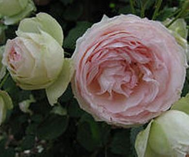ROSA PIERRE DE RONSARD Ref. 104 ( ARBUSTO )