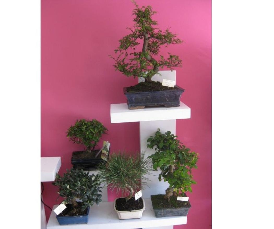 ¿Conoces el origen de los bonsáis? (II)