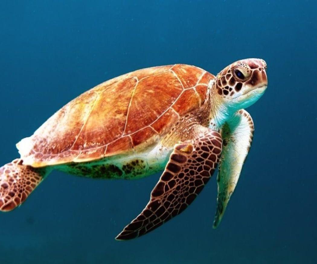 El caparazón de las tortugas