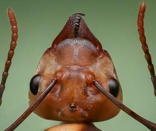 ¿Cómo diferenciar las termitas de las hormigas?
