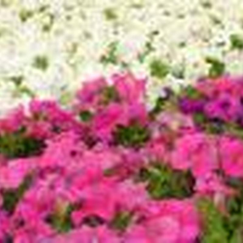 Plantas de temporada: Plantas y complementos de Viveros Cidoncha