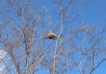 Destrucción de nidos de avispa asiática