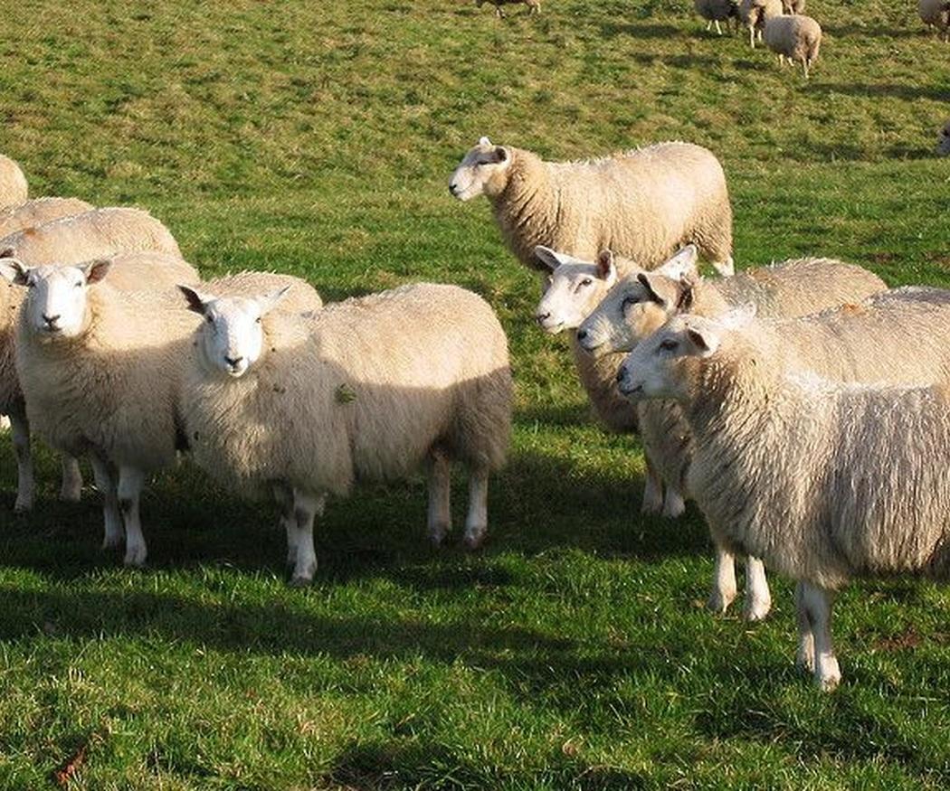 El queso de oveja, el elemento de la gastronomía vasca