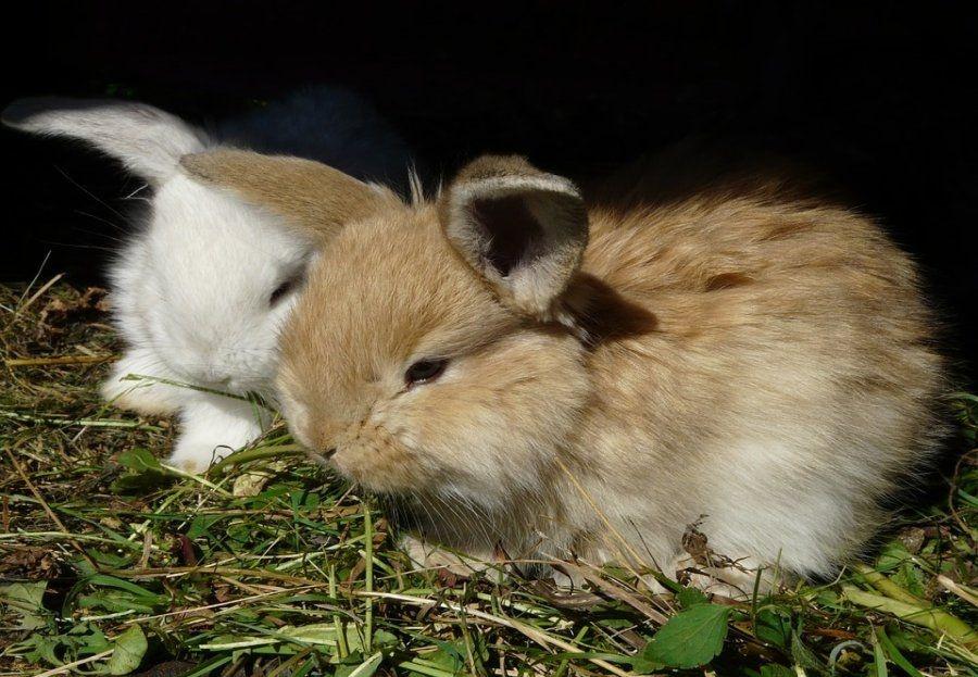 Los conejos como mascotas