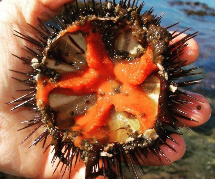 Oricios , erizos de mar