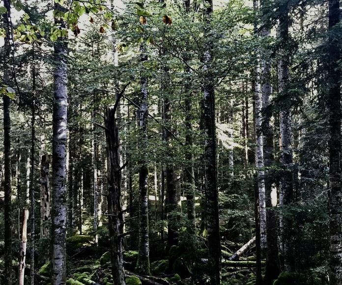 Bosques en el Valle de Ordesa.