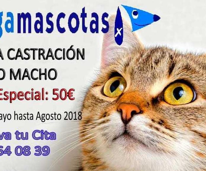 Castración gato macho Murcia