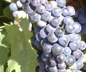 Variedades de uva tinta standard para vinificación