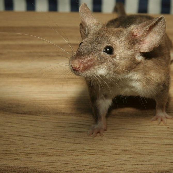 Signos de que han entrado roedores en casa