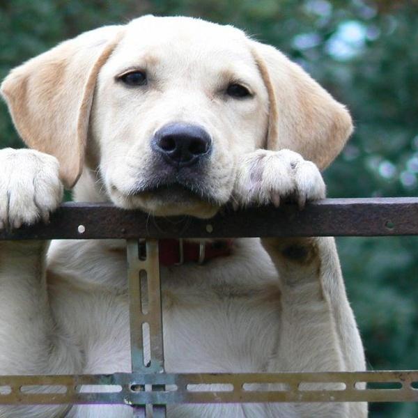 Las razas de perros más bondadosas