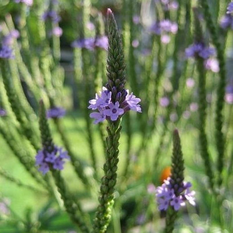 Plantas medicionales: Productos de Tawara