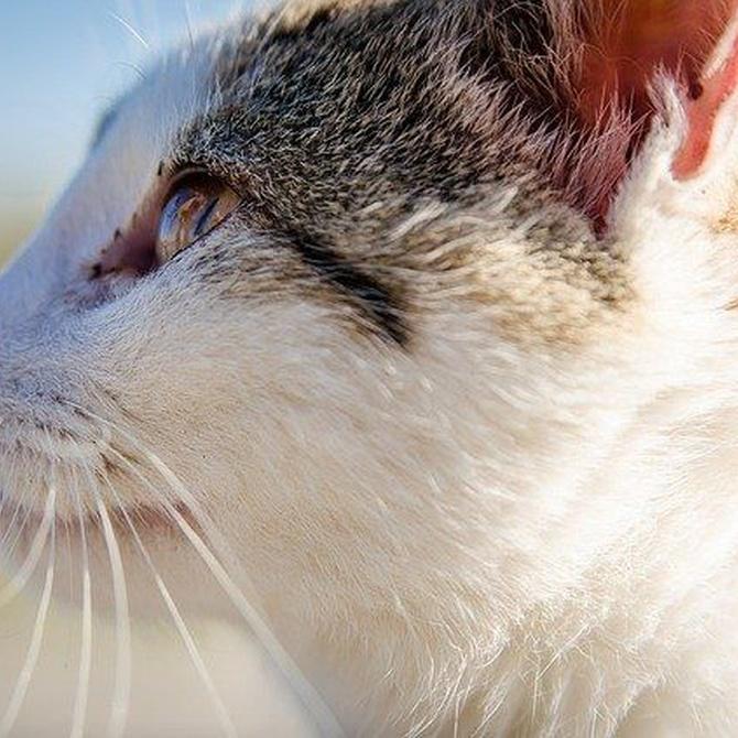 El oído de tu gato
