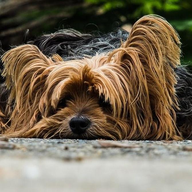 Las enfermedades más comunes en los perros
