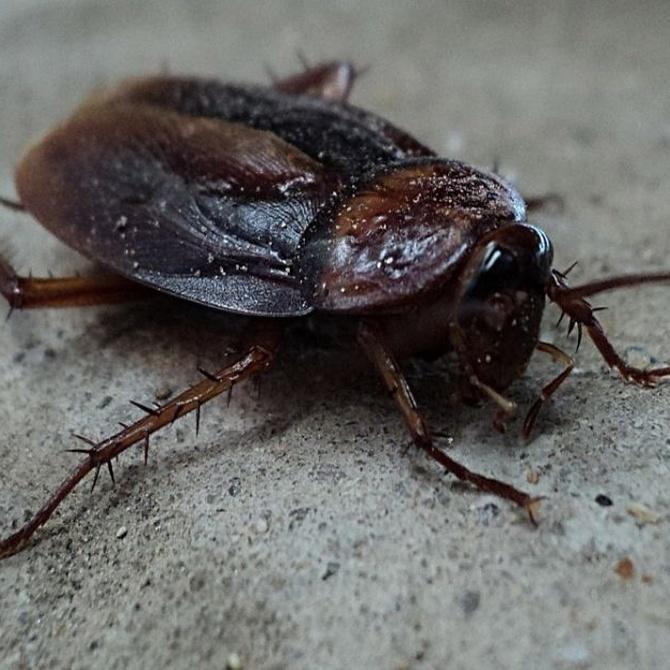 Blatofobia o miedo a las cucarachas