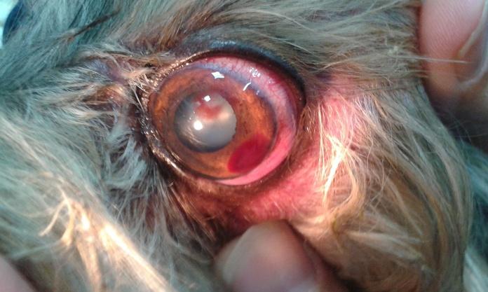 Oftalmología:  de Clínica Veterinaria Jameos