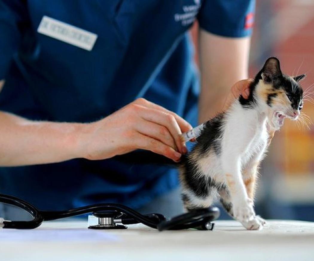 Cuándo vacunar a tu gato