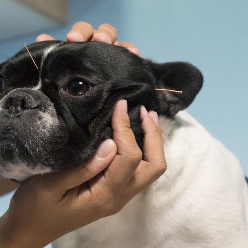 Acupuntura veterinaria para espondilosis vertebral.