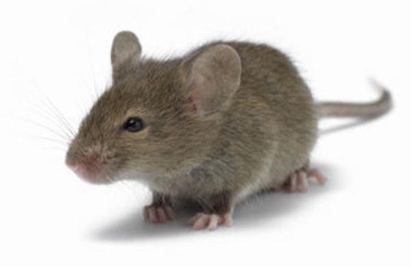 Ratón común doméstico