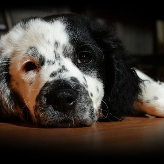 ¿Cómo limpiar una herida superficial a tu perro?