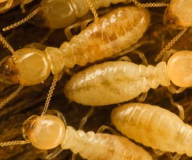 ¿Que son las termitas?