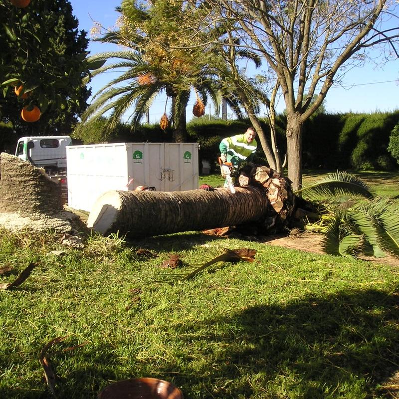 Tala de palmera afectada por picudo rojo