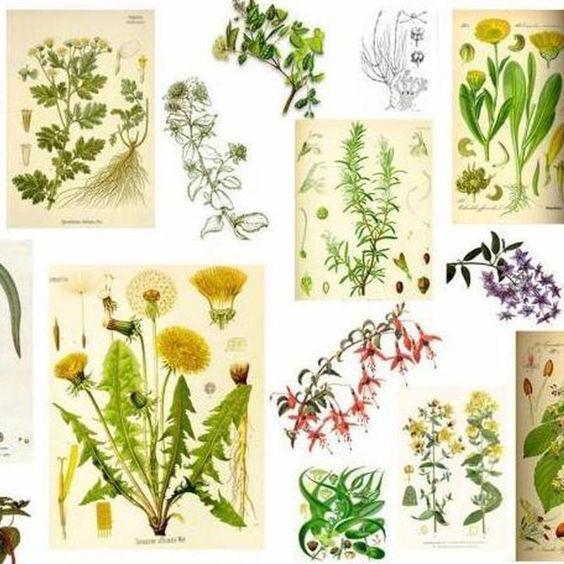 Plantas medicinales: Productos y servicios de Herbolario Loto Dorado