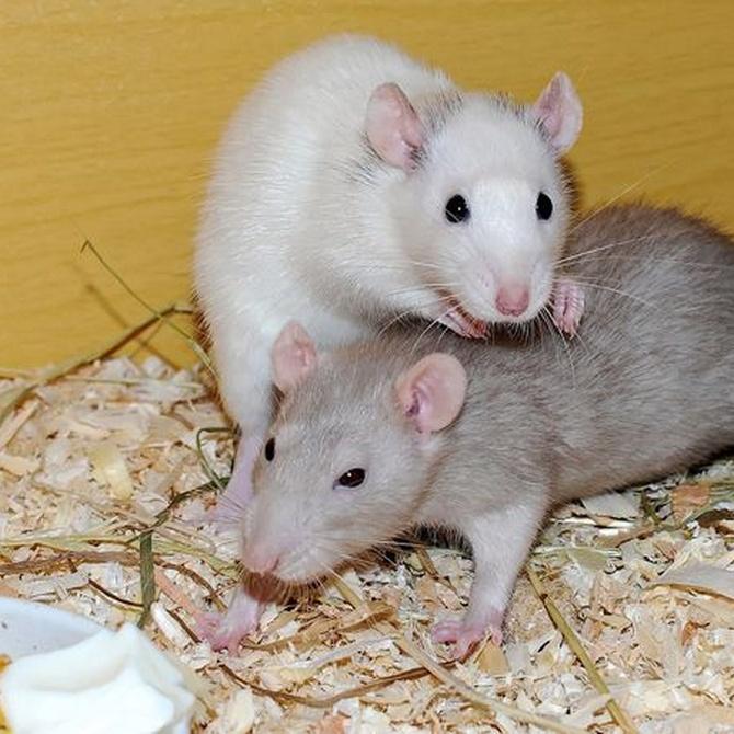 Ratas, un peligro para tu salud