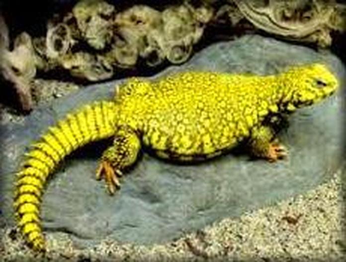 Uromastyx: Catálogo de Reptil Parc