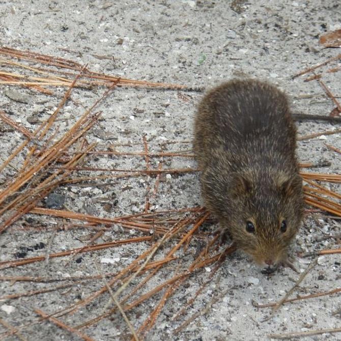 Consecuencias de la plaga de ratas