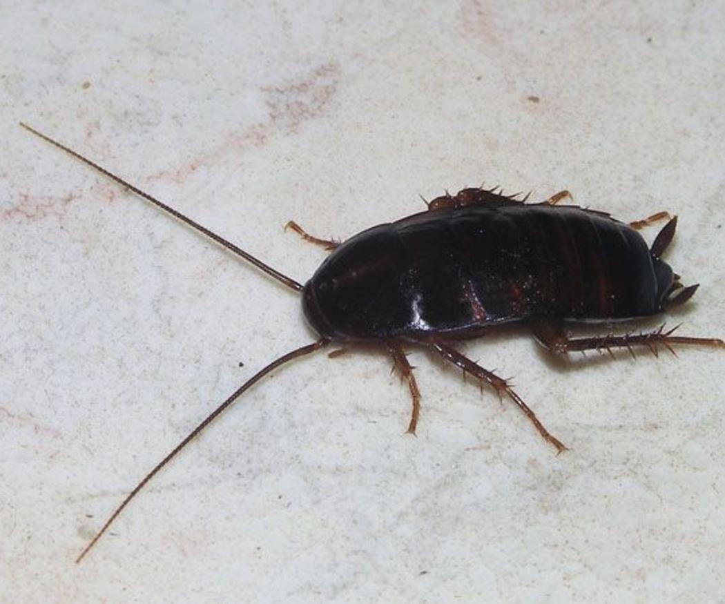 Variedades de cucarachas que pueden invadir tu cocina