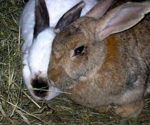 Conejo de granja