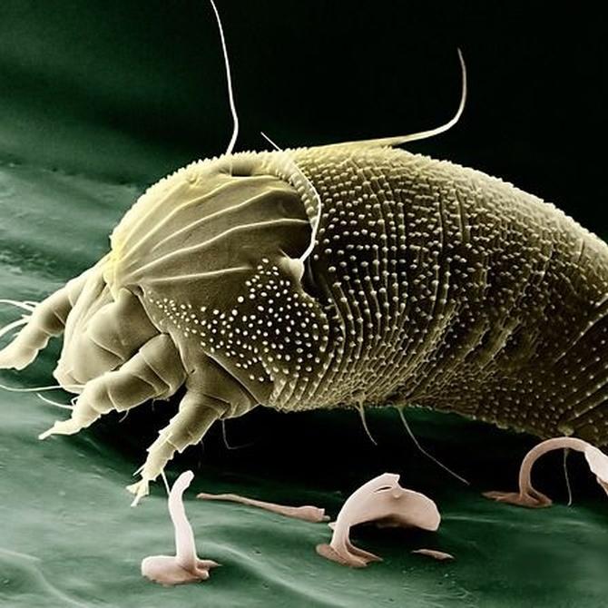 ¡Cuidado con las enfermedades de los ácaros del polvo!