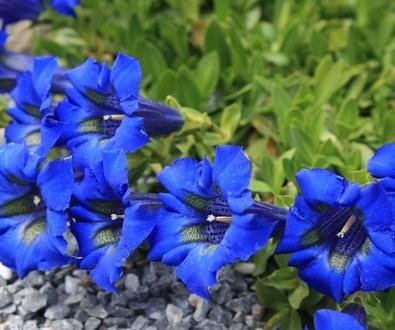 Genciana, la flor del optimismo