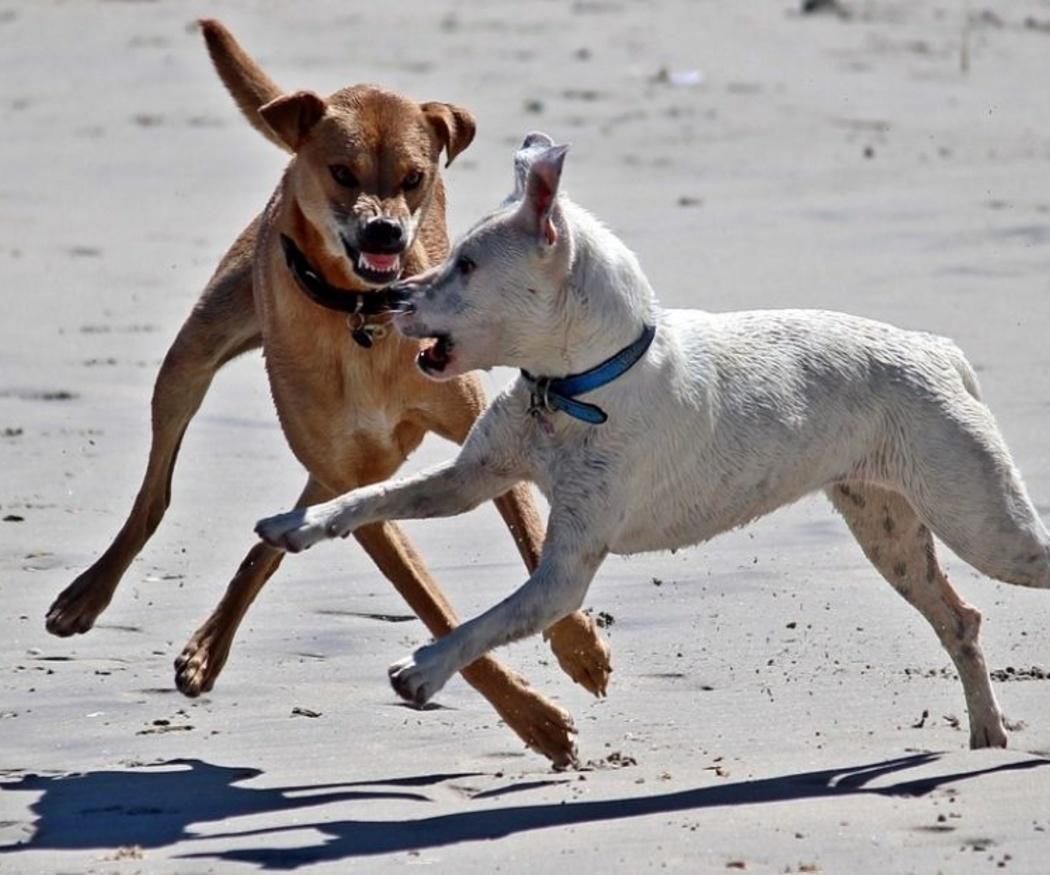 Requisitos que se te exigen para tener un perro peligroso