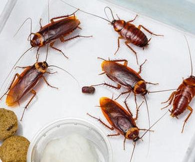 El plazo de seguridad en la eliminación de cucarachas