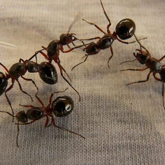 Di adiós a las plagas de hormigas