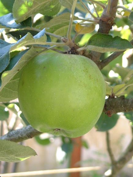 Manzano autóctono gallego