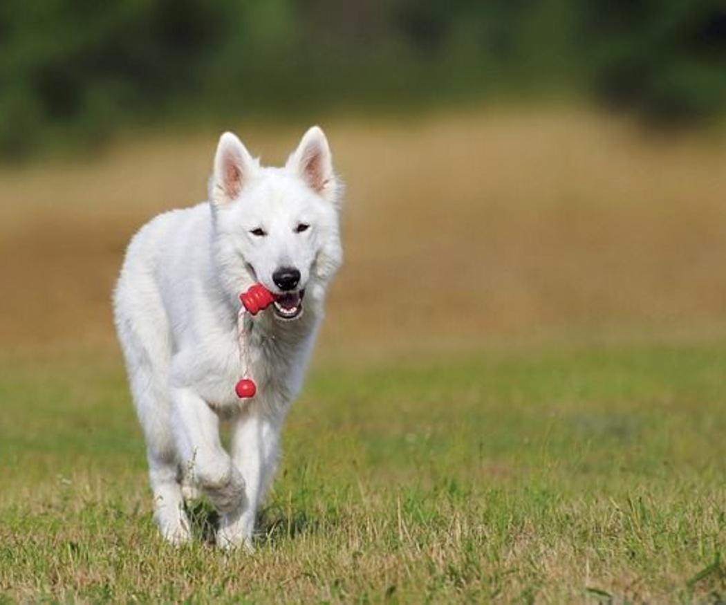 Ejercicios de rehabilitación para perros en casa