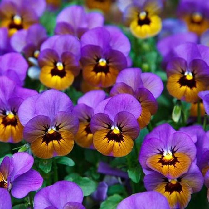 ¿Qué flores plantar en mi jardín en invierno?