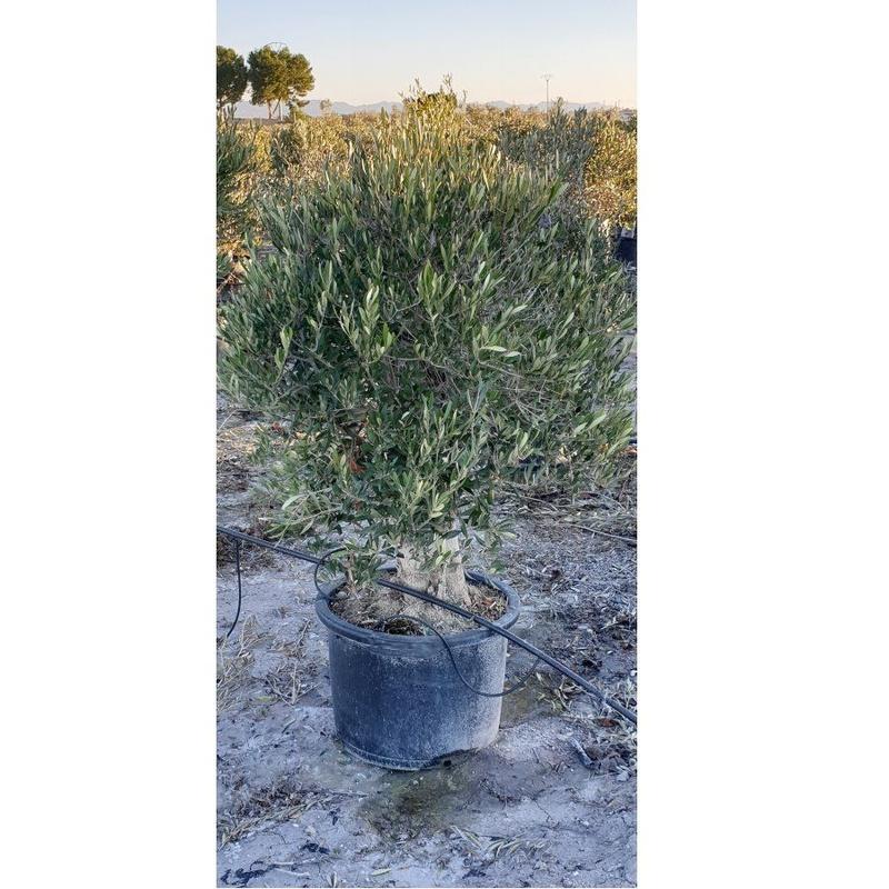 Venta de árboles: Servicios de Plantas Benalla