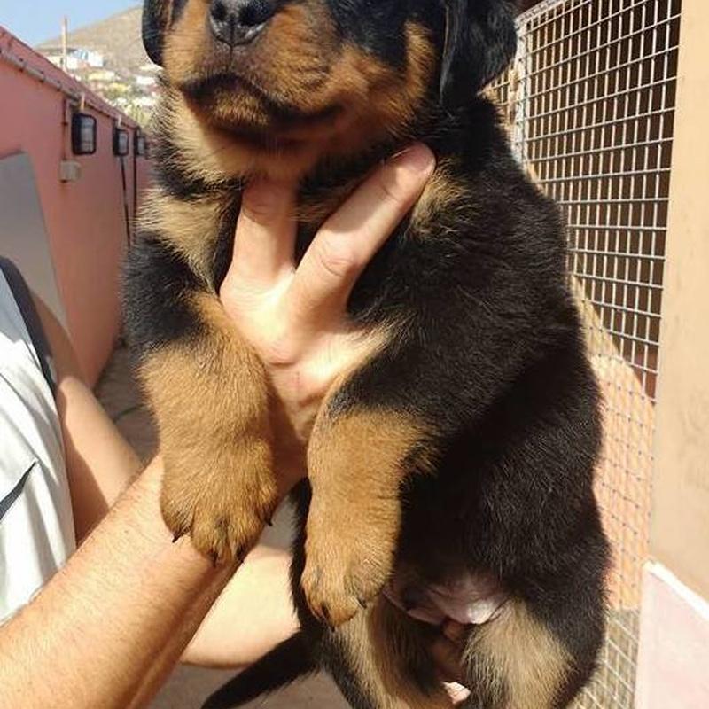 Cachorros disponibles hijos de Campeones: Servicios y accesorios de Residencia Canina y Adiestramiento Tarazona
